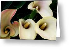Blushing Calla Lilies Greeting Card