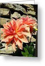 Blushing Peach Dahlias Greeting Card