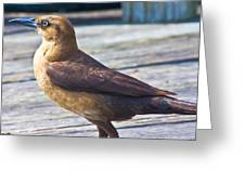 Boat Tail Grackle Greeting Card