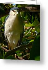 Blackcrowned Night Heron Greeting Card