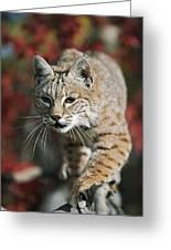 Bobcat Felis Rufus Greeting Card