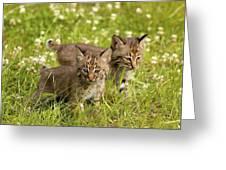 Bobcat Kittens Greeting Card