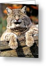 Bobcat Snoozes In The Sun Greeting Card