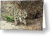 Bobcat Stalking Prey Greeting Card