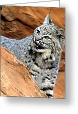 Bobcat With A Smile Greeting Card