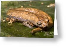 Bolitoglossine Salamander Greeting Card