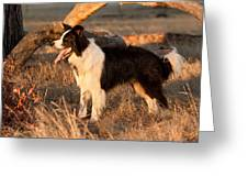 Border Collie At Sunset Greeting Card