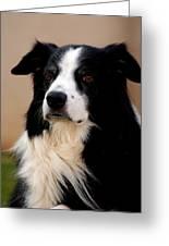 Border Collie Dog Greeting Card