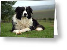 Border Collie Greeting Card by Miguel Capelo