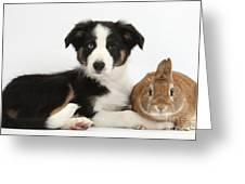 Border Collie Pup And Netherland-cross Greeting Card