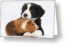 Border Collie Pup And Tricolor Guinea Greeting Card