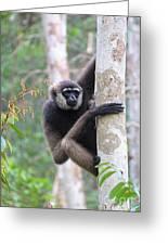 Bornean White-bearded Gibbon Greeting Card