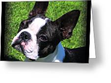 Boston Terrier Two Greeting Card