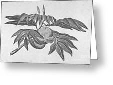 Botany: Breadfruit Tree Greeting Card