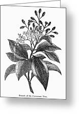 Botany: Cinnamon Tree Greeting Card
