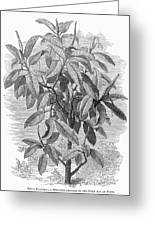 Botany: Ficus Elastica Greeting Card