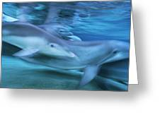 Bottlenose Dolphins Swimming Hawaii Greeting Card