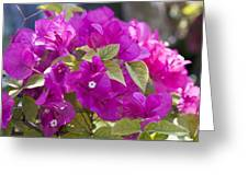 Bougainvillea Flowers Greeting Card