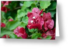Bougainvillea San Diego Vibrant Red Flowers Closeup  Greeting Card
