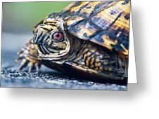 Box Turtle 1 Greeting Card