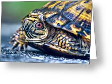Box Turtle 2 Greeting Card