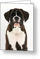 Boxer Pup Greeting Card