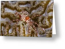 Boxing Crab In Raja Ampat, Indonesia Greeting Card