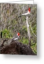 Brazillian Cardinals Greeting Card