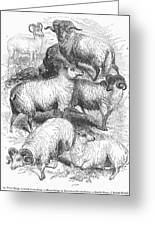 Breeds Of Sheep, 1841 Greeting Card