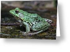 Bright Green Bullfrog Greeting Card by Chris Hill