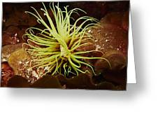 Bright-yellow Cylinder Anemone Greeting Card