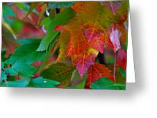 Brilliant Red Maple Leaves Greeting Card