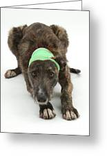 Brindle Lurcher Wearing A Bandage Greeting Card