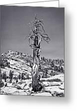 Bristlecone Pine - High Sierra Greeting Card