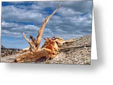 Bristlecone Pine In Repose Greeting Card