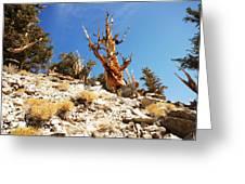 Bristlecone Skeleton Greeting Card