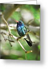 Broad-billed Hummingbird  Greeting Card