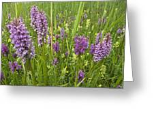 Broad-leaved Marsh Orchid Dactylorhiza Greeting Card
