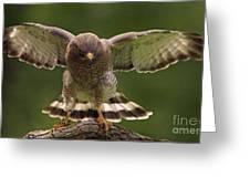 Broad Winged Hawk Greeting Card