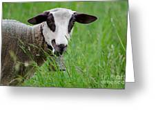 Brown And White Sheep Greeting Card