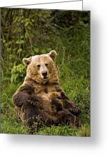 Brown Bear Ursus Arctos, Asturias, Spain Greeting Card