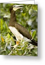 Brown Booby Sula Leucogaster Greeting Card by Tim Laman