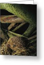 Brown-breasted Hedgehog Erinaceus Greeting Card