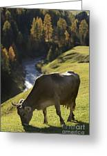 Brown Cow Alps Greeting Card