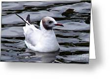 Brown-headed Gull Greeting Card