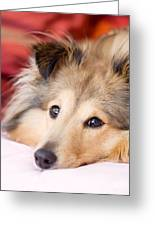 Brown Sheltie Greeting Card