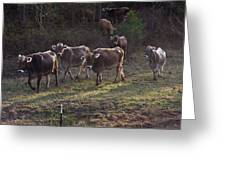 Brown Swiss Cows Coming Home Greeting Card