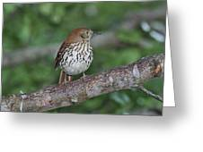Brown Thrasher Greeting Card by Gregory Scott
