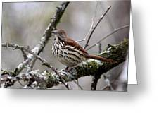 Brown Thrasher - Spot Greeting Card
