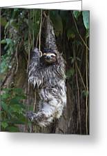 Brown Throated Three Toed Sloth Mother Greeting Card